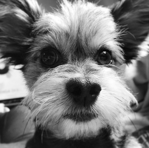 Picture of a Yorkie Dog in Black and White